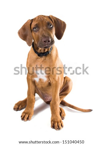 Curious two-month puppy Rhodesian Ridgeback  (Ridgeback) (Lion Dog) (African Lion Hound)   sits on a white background