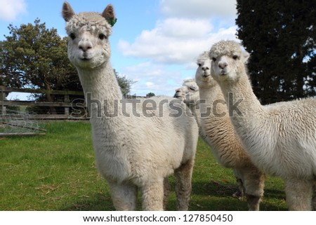 Curious white alpacas on the farm - stock photo