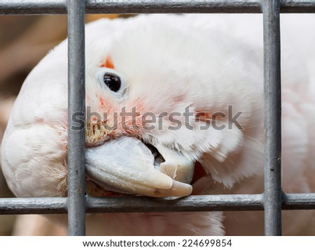 Curious white parrot chewing away at metal bars
