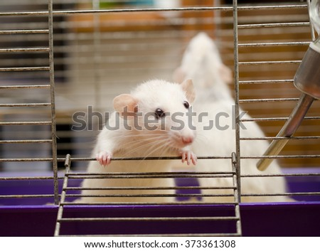 Curious white rat in a cage (shallow DOF, focus on the rat paws) - stock photo