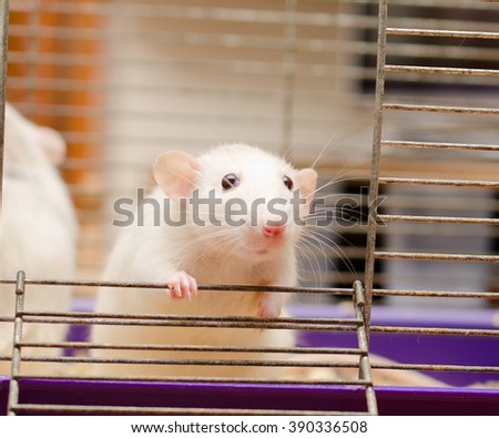 Curious white rat in a cage (shallow DOF, selective focus on the rat paw and eyes) - stock photo