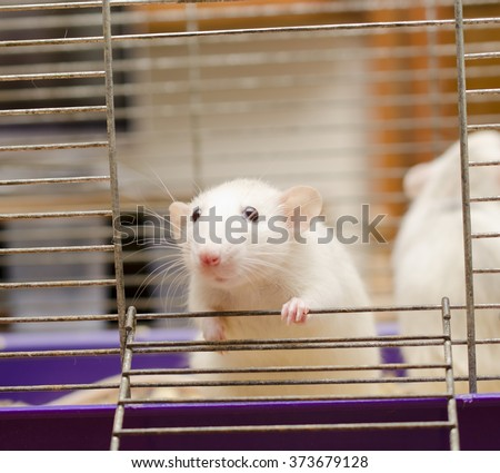 Curious white rat in a cage (with focus on the rat paw) - stock photo