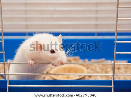 Curious white rat looking out of a cage - stock photo