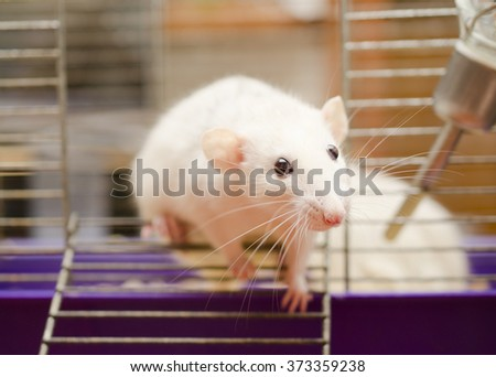 Curious white rat trying to escape from a cage (shallow DOF, focus on the rat nose and eyes) - stock photo