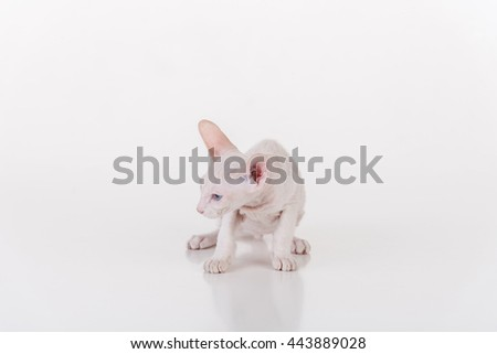 Curious White Very Young Peterbald Sphynx Cat Standing on the white table with reflection. Looking left