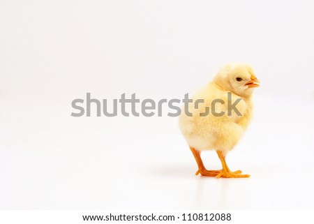 curious yellow chicken, isolated on white