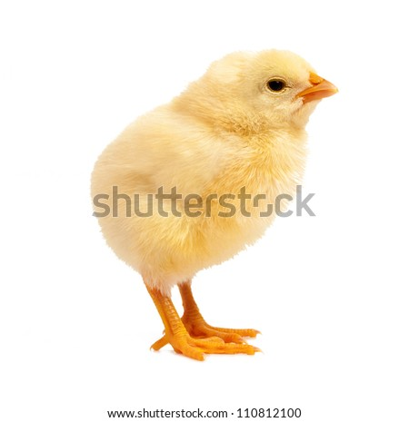curious yellow chicken, isolated on white - stock photo