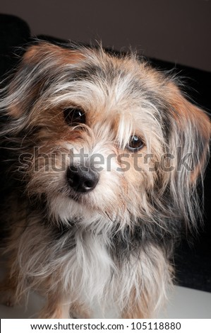 curious yorkshire terrier puppy - stock photo