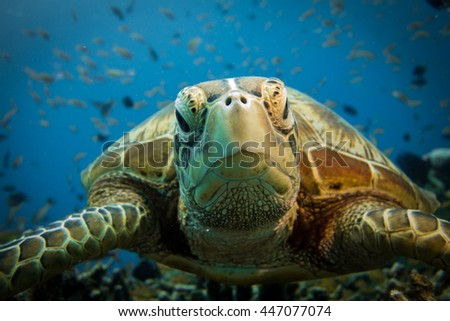 Curious young green turtle