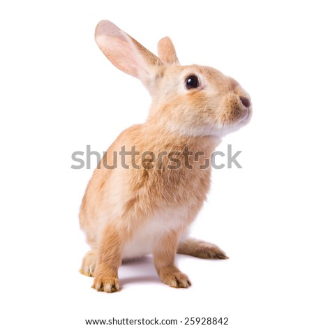 Curious young red rabbit isolated on white background - stock photo