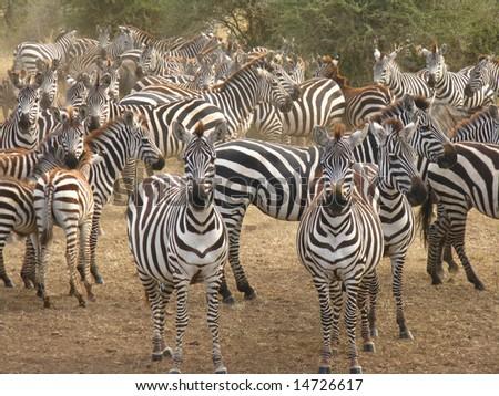 Curious Zebras - stock photo