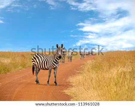 Curious zebras looking and standing on the road in savannah with blue cloudy sky in the background - stock photo