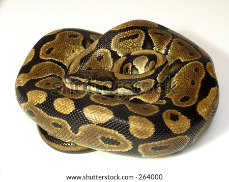 Curled Ball python - stock photo