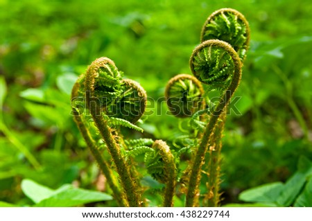 Curled frond of fern in spring