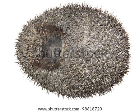 Curled hedgehog, isolated on white