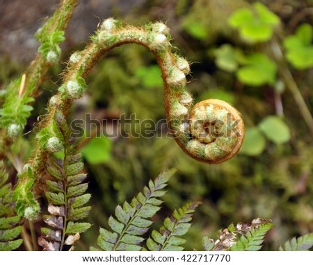 Curled up fern bud - stock photo