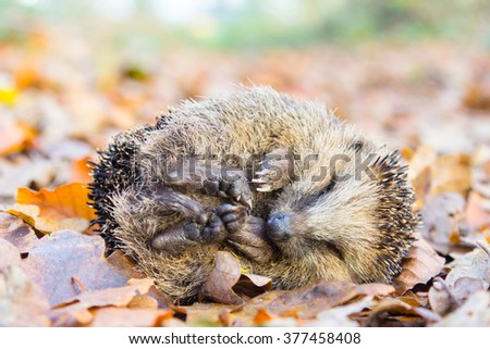 Curled up hedgehog lying and sleeping on autumn leaves in forest - stock photo