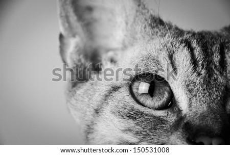 curly cat, devon rex, fawn, - stock photo