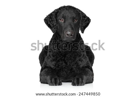 Curly coated retriever lying down on white background - stock photo