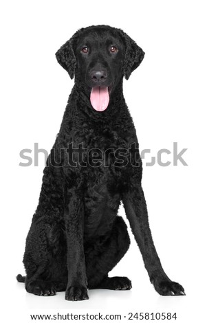 Curly Coated retriever on white background - stock photo