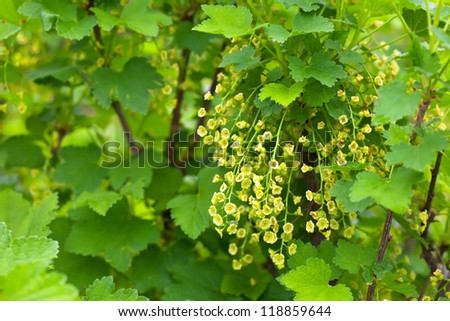 currant branch in spring blooms garden - stock photo
