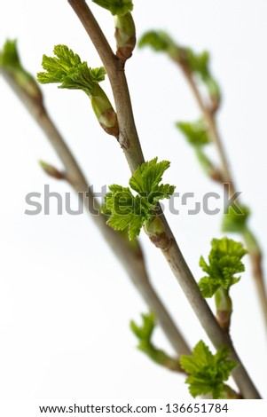 Currant branch with buds - stock photo