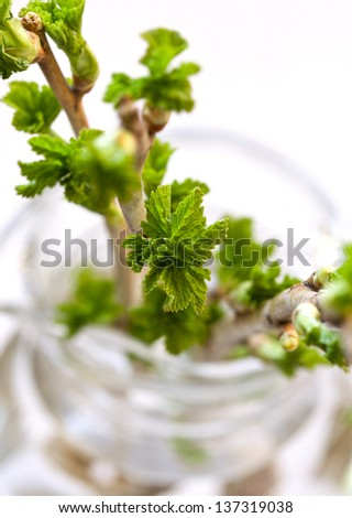 Currant branch with buds in a vase - stock photo
