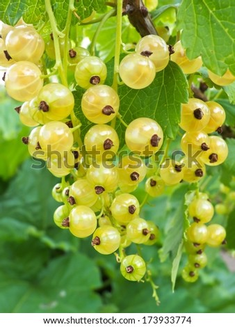 Currant bush with bunches of ripe white currants in summer.