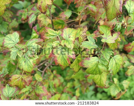 Currant leaves affected by iron deficiency disease         - stock photo