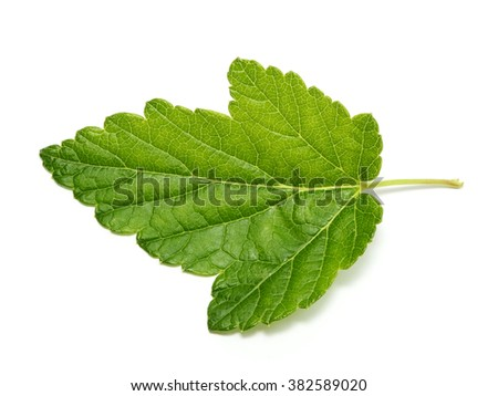 Currant tree leaf isolated on white background