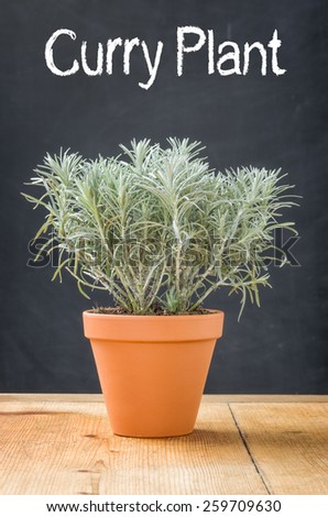 Curry Plant in a clay pot on a dark background - stock photo