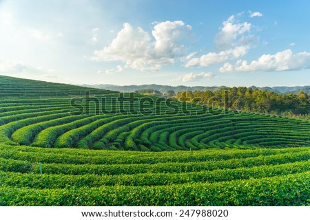 Curve of green tea farm, Chiang Rai