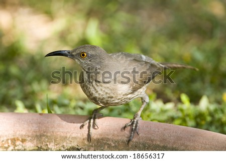 Curved Bill Thrasher Bird Curved Billed Thrasher on The