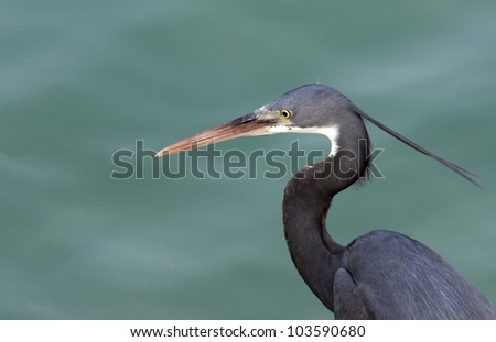 Curved neck of a beautiful western reef heron