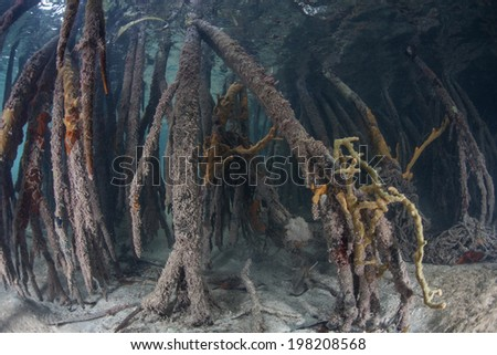 Curved prop roots descend from mangrove trees on Turneffe Atoll in Belize. These specialized roots offer space for small fish to grow and substrate for sponges and other invertebrates to colonize. - stock photo