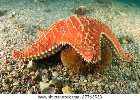 Cushion Sea Star getting ready to try and consume a Sea Urchin picture taken under the Blue Heron Bridge in Palm Beach Florida. - stock photo