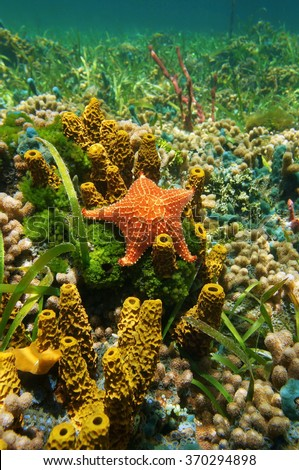 Cushion sea star underwater on the seabed with sponges, algae and corals, Caribbean sea - stock photo