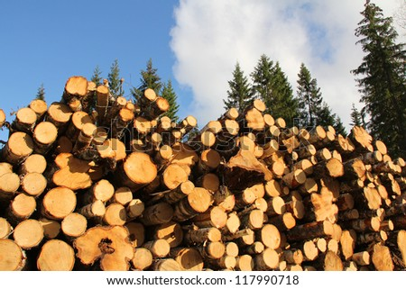 Cut and piled up birch tree trunks of various sizes to be used as wood fuel, with tall fir trees and clear sky as background. - stock photo