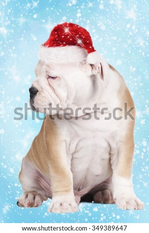 Cut continental bulldog puppy with christmas hat on blue background