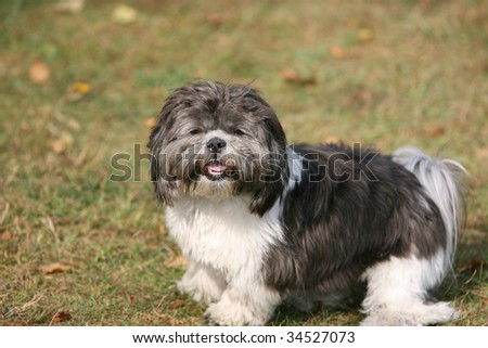 Cut little furry dog - stock photo