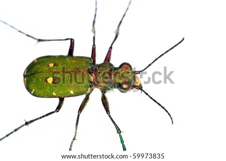 cut out of a Green Tiger Beetle (Cicindela campestris) - stock photo