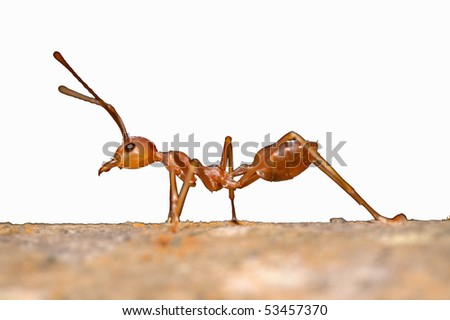 Cut-out of a Weaver Ant in khao Sok National Park, Thailand - stock photo