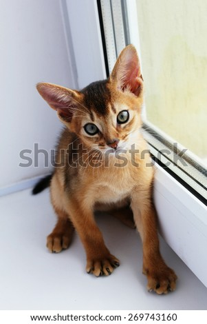 Cute abyssinian kitten with big ears looking at camera - stock photo