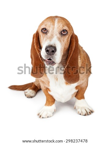 Cute adult Basset Hound breed dog with a funny expression on his face. Isolated on white. - stock photo
