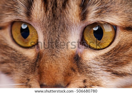 Cute adult tabby with bright yellow eyes close-up