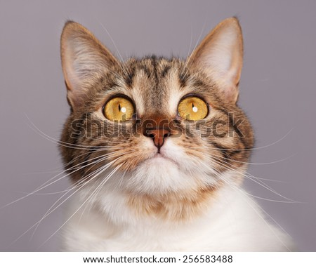 Cute adult tabby with long moustaches over grey background - stock photo