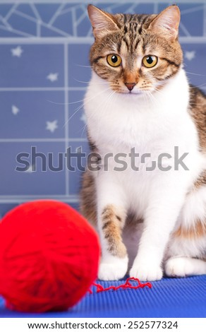 Cute adult tabby with red yard ball over blue background. Focus on the cats eyes - stock photo