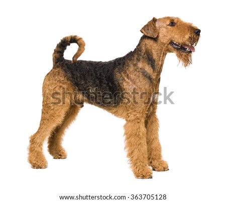 Cute Airedale Terrier isolated on white - stock photo