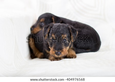 Cute Airedale terrier puppy  - stock photo