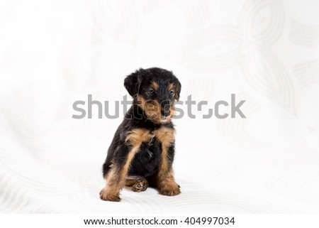 Cute Airedale terrier puppy sitting - stock photo